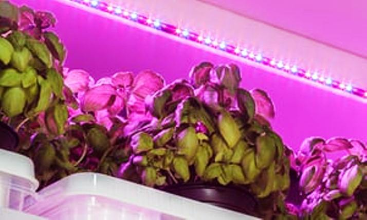 Basil herb growing under LED light